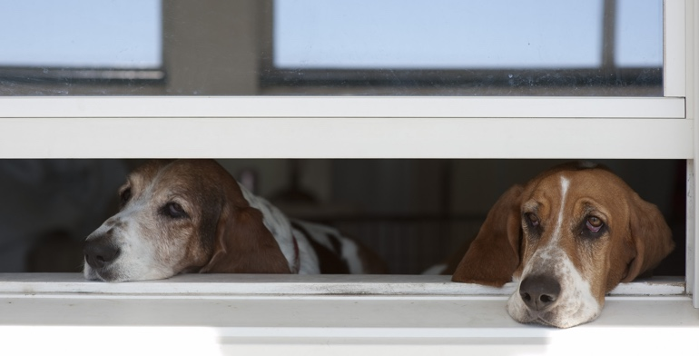 Dogs look out open window with no window treatment in Dallas.